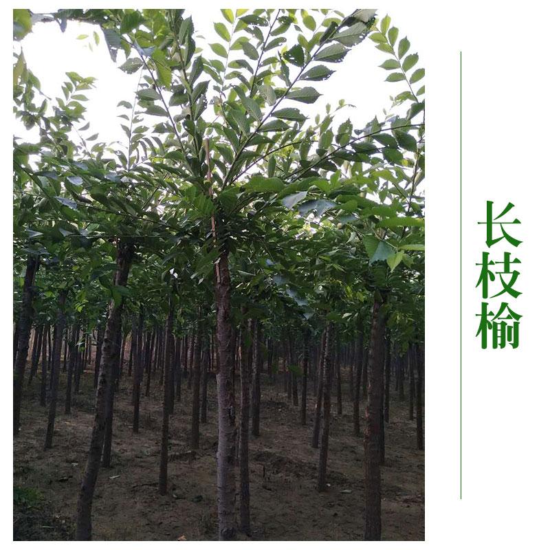 河北京兴苗木花卉批发 长枝榆树木长枝榆树苗 直供绿化工程图片大全