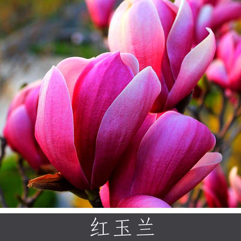 红玉兰 白紫黄玉兰多款品种观花树木 落叶大灌木园区景区观赏植物