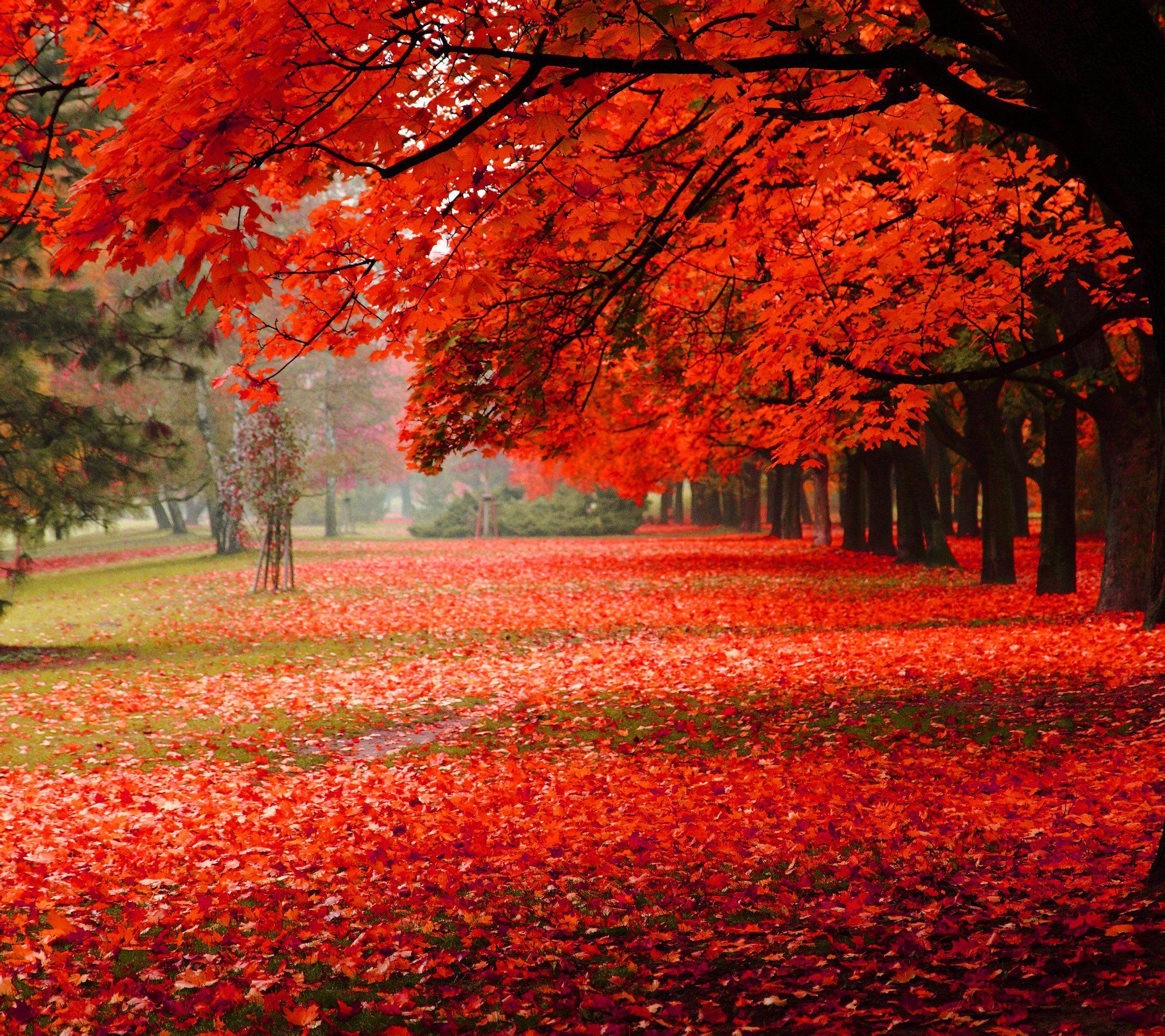 广西红枫树 大红枫价格 红枫树价格 广西红枫树多少钱