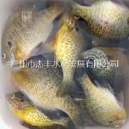 太阳鱼鱼苗图片