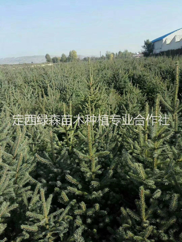 甘肃云杉, 1米2米3米云杉甘肃3米云杉、低价云杉树苗多