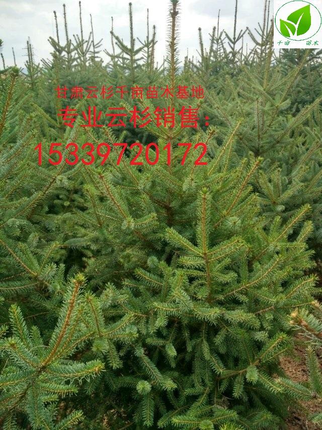 甘肃云杉2米3米4米新价格 甘肃云杉|2米3米4米|西北云杉