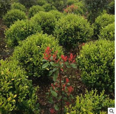 基地直销批发茶花树茶花球常绿灌木 规格齐全 地栽 浏阳市茶花球