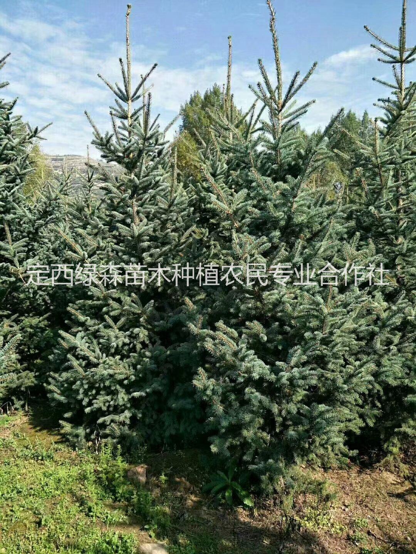 供应甘肃|1米2米3米3.5米|云杉 甘肃|1米2米3米3|云杉