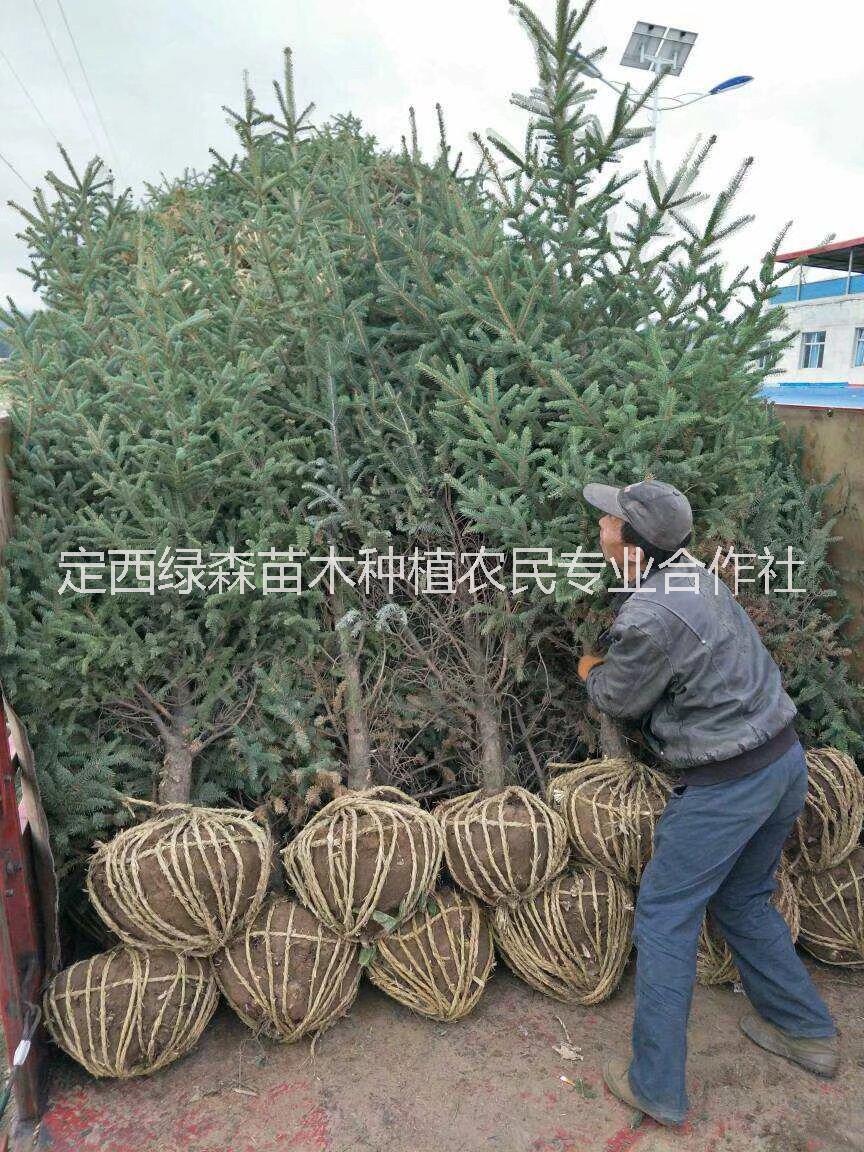 甘肃云杉,青海云杉价格,甘肃定西云杉2米3米4米绿化树