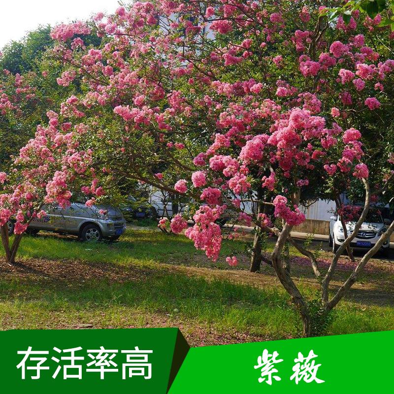 景观树紫薇种苗 园林观赏花木落叶小乔木百日红/痒痒树/紫兰花树苗