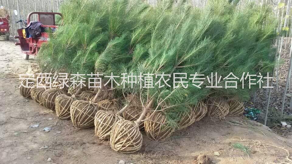 甘肃油松, 1米2.5米2米、1米1、2米1、5米2 甘肃油松、甘肃油松价格、油松