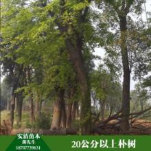 桂林朴树价格  朴树 朴树大量出售 朴树苗品批发