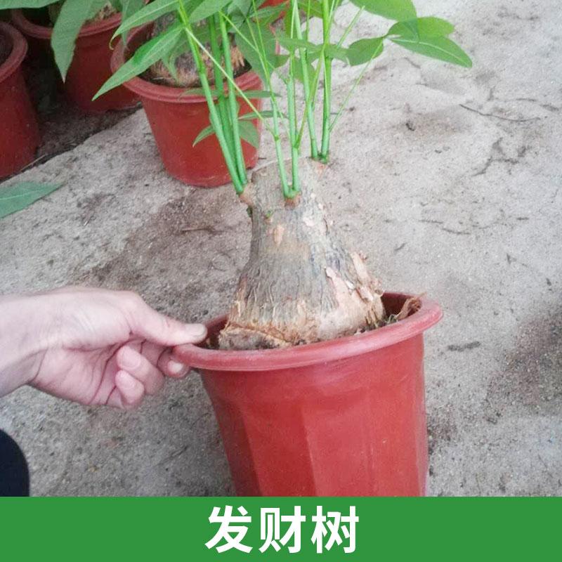 天和园艺供应发财树 室内盆栽绿植净化空气 花卉装饰摆设批发