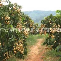 柑苗 广东云浮柑苗种植基地 广东云浮市柑苗供应商 云浮市柑苗品种