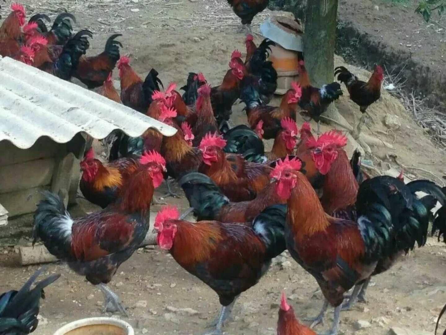 贵阳绿壳蛋鸡苗 贵阳绿壳蛋鸡苗批发 贵阳绿壳蛋鸡苗批发商 贵阳绿壳蛋鸡苗供应