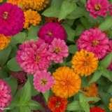 花坛花卉种植基地|国庆节花卉|小区道路绿化花卉|节日花卉 花坛花卉种植基地节日花卉
