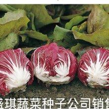 xy.结球红菊苣种子 基地种植结球菊苣种子 食用红色结球菊苣种子菊苣批发厂家种子公司图片