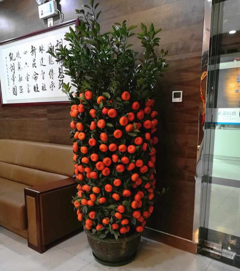 广州年桔盆栽价格 广州年桔桃花摆设电话 广州春节花卉布置供货商