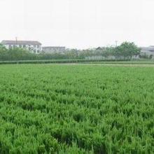小区绿化苗木    油松做价格  油松做价格 油松基地 绿化苗木基地 绿化苗圃 绿化苗木 绿化苗木公司 小区绿化苗木图片