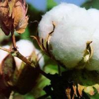 供应长绒棉供应商制造商/ 长绒棉生产商批发商定制报价厂家直销批发价格/ 长绒棉生产厂家品牌质量哪家好