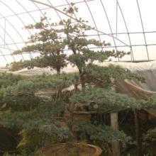 红豆杉批发  红豆杉 红豆杉风景树 红豆杉种植 红豆杉供应商 红豆杉报价 红豆杉价格图片