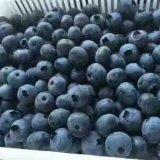 专售莱格西蓝莓苗 金辉种植基地