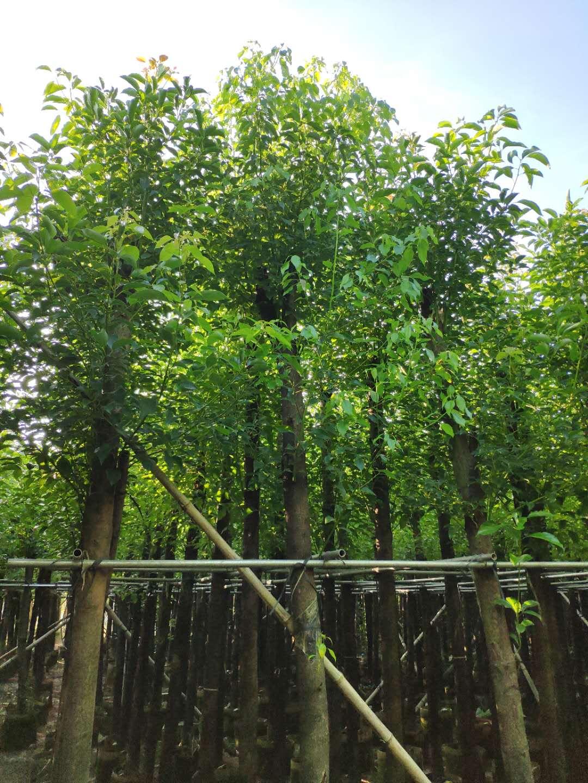 香樟树  5公分香樟树厂家直销 香樟树供应商 香樟树制造商 香樟树批发价格