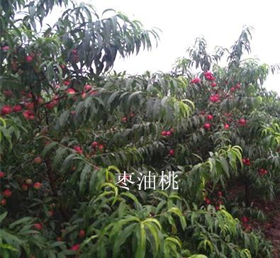 枣味油桃树苗价格 山西哪里有枣油桃树苗批发