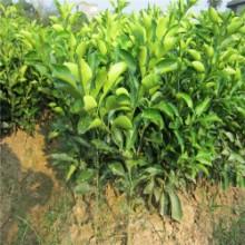供应红肉脐橙苗批发厂家,脐橙苗供应商,果幼苗厂家,量大从优,优质果苗厂家批发批发