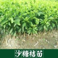 广西沙糖桔苗价格表|广西砂糖桔苗报价|广西沙糖桔种植苗圃|广西沙糖桔苗批发