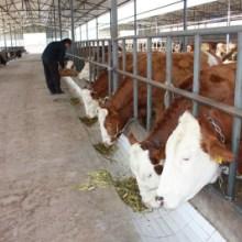 山东优质西门塔尔牛哪里有西门塔尔牛西门塔尔牛价格实惠西门塔尔牛供应商批发