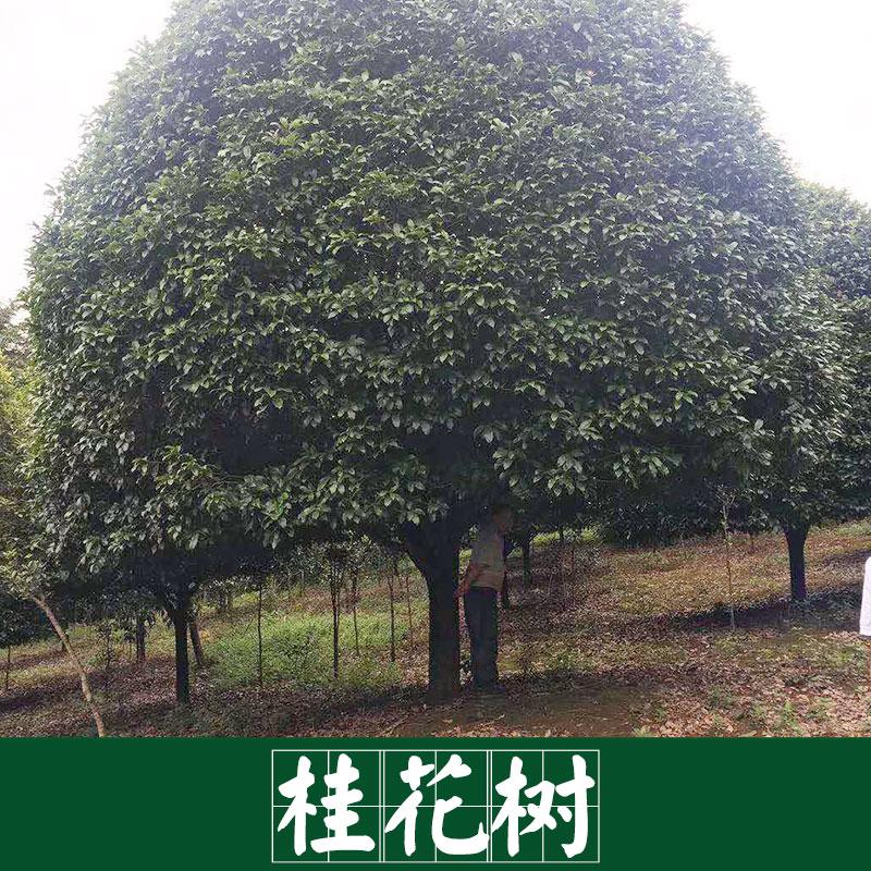 厂家直销 供应 桂花树 景观园林树木 服务好 运输有保障
