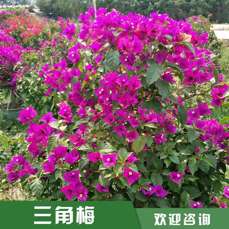 广东双色三角梅|紫色三角梅供应商|潮州红同安红三角梅|三角梅盆景