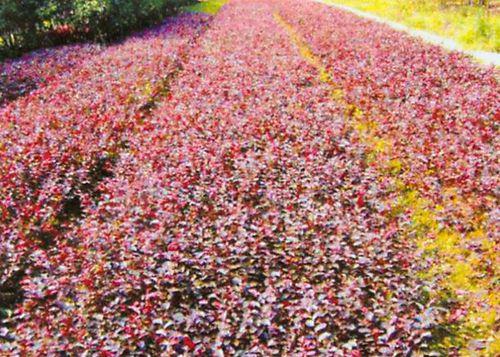 湖南优质红继木供应商,供应红继木厂家直销,郴州红继木基地,红继木生产基地,红继木经销商报价