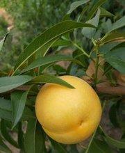 黄金蜜0号,黄桃树苗,黄桃品种,黄桃新品种,新品种桃树苗,优质黄桃