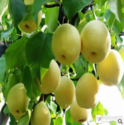 山东梨树苗市场直销批发公司-优质供应商生产商