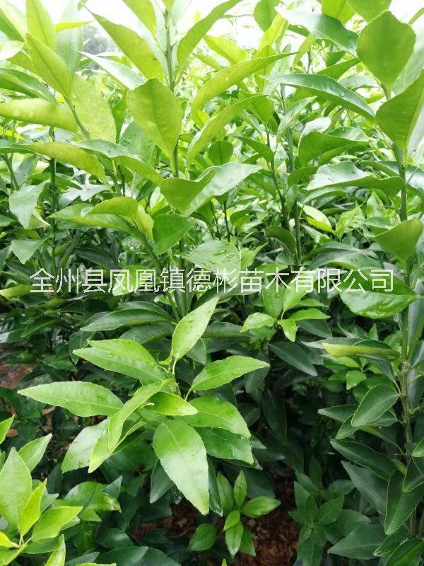 广西桂林无核沃柑苗、广西无核沃柑苗供应商价格、无核沃柑苗多少钱一棵