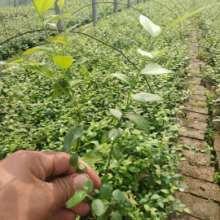 山东济南蓝莓苗基地-山东青岛大量出售蓝莓苗1-6年批发/厂家价格报价图片