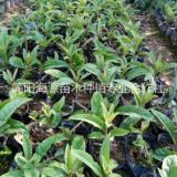 四川枇杷营养杯苗种植基地直销价格