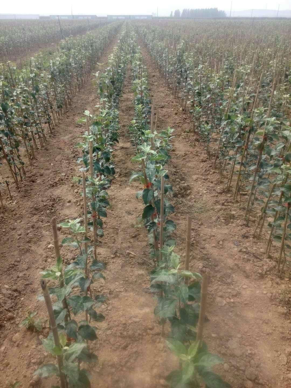如何种植M9-T337自根砧苹果苗