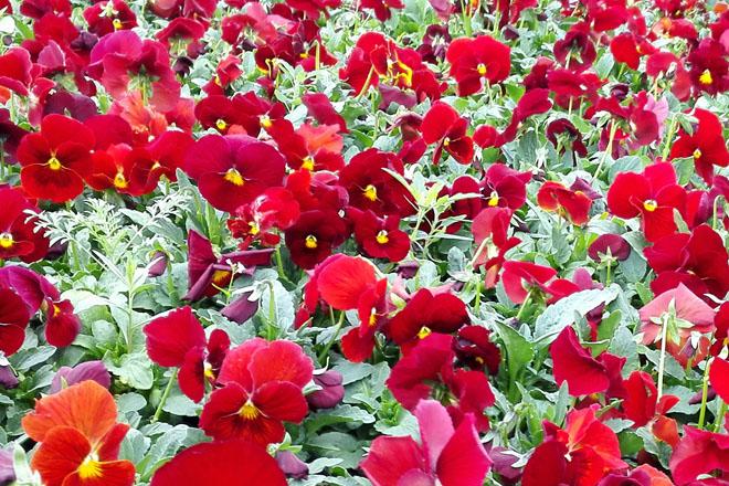 山东青州花卉批发市场,青州时令花卉种植基地,花卉批发价格怎么样