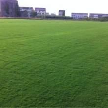 矮百慕大草坪 专业批草坪草皮 绿化草坪   山东矮百慕大草坪价格