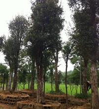 湖南椤木石楠大树-跳马造型椤木石楠-长沙椤木石楠价格优惠上宏景图片