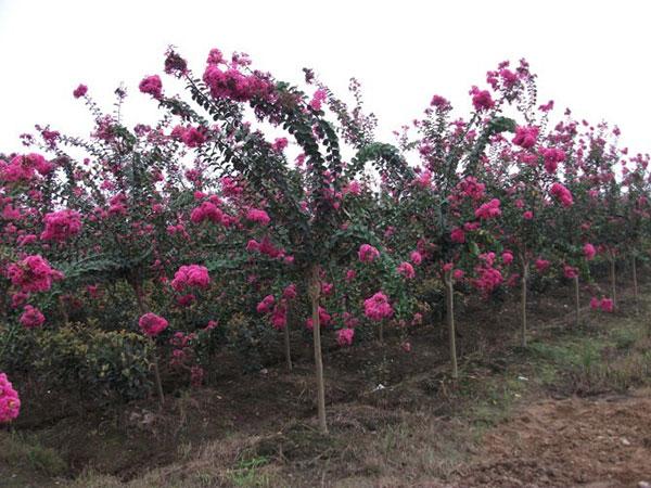 河南紫薇价格 河南紫薇树销售 专业种植 基地直销