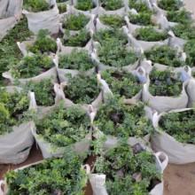 广州嘉宝果种苗种植基地直销价格