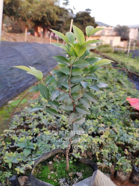 台湾嘉宝果(树葡萄)10-50公分高福冈嘉宝果种苗批发