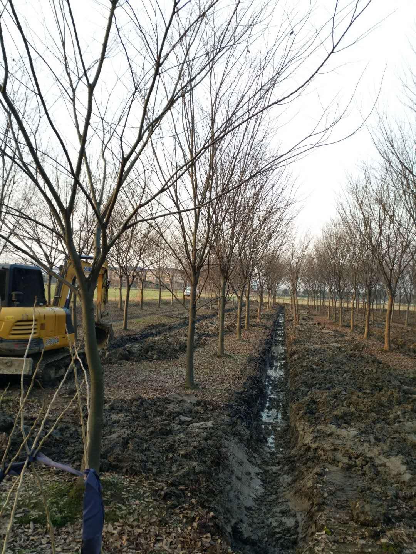 供应30cm的榉树,众联苗木场供应18cm至25cm榉树批发全国发货,优质精品榉树选众联苗木场
