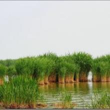 水生芦苇 芦苇 芦苇价格 福建芦苇价格 福建芦苇供应