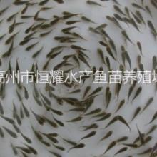 中山大量批发供应不产仔罗非鱼苗图片