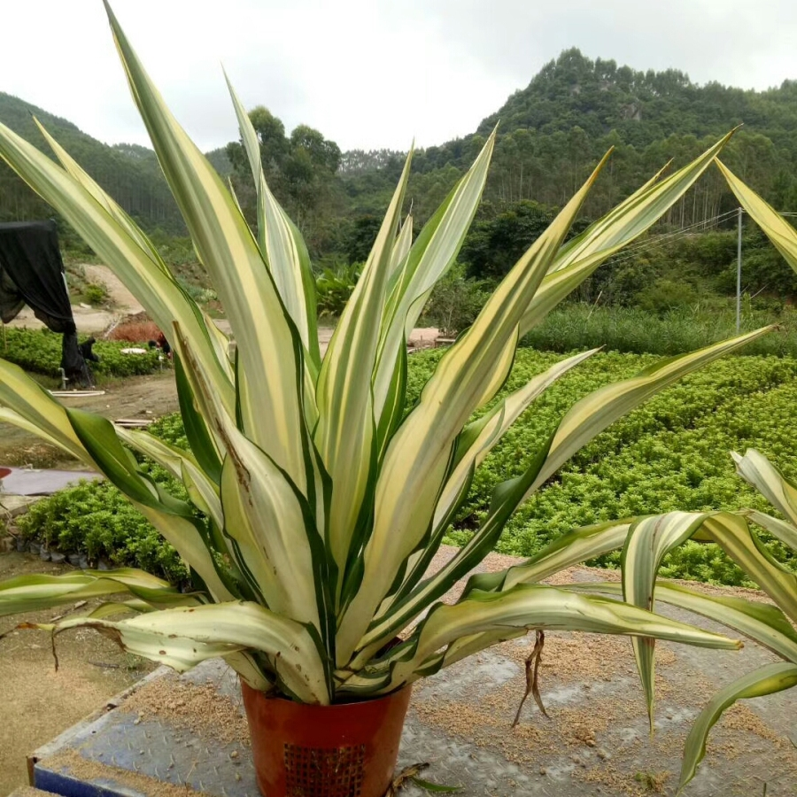 花木供应万年麻全国大型花卉乔灌木种植一手货源