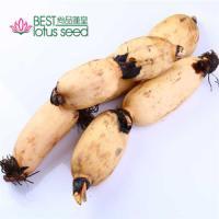鲜莲藕 保鲜脆甜菜藕 高维生素高营养低热量粉藕 尚品莲皇产地批发供应
