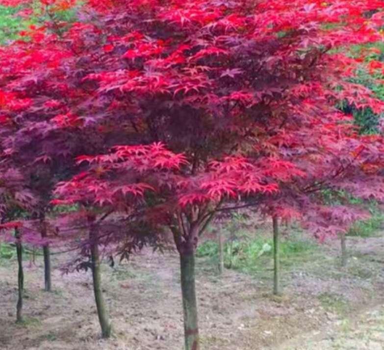 红枫小苗-先国园林-2-3公分红枫/厂家批发价格报价供应商