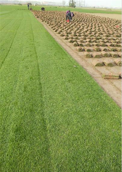 安徽滁州马尼拉草坪基地销售