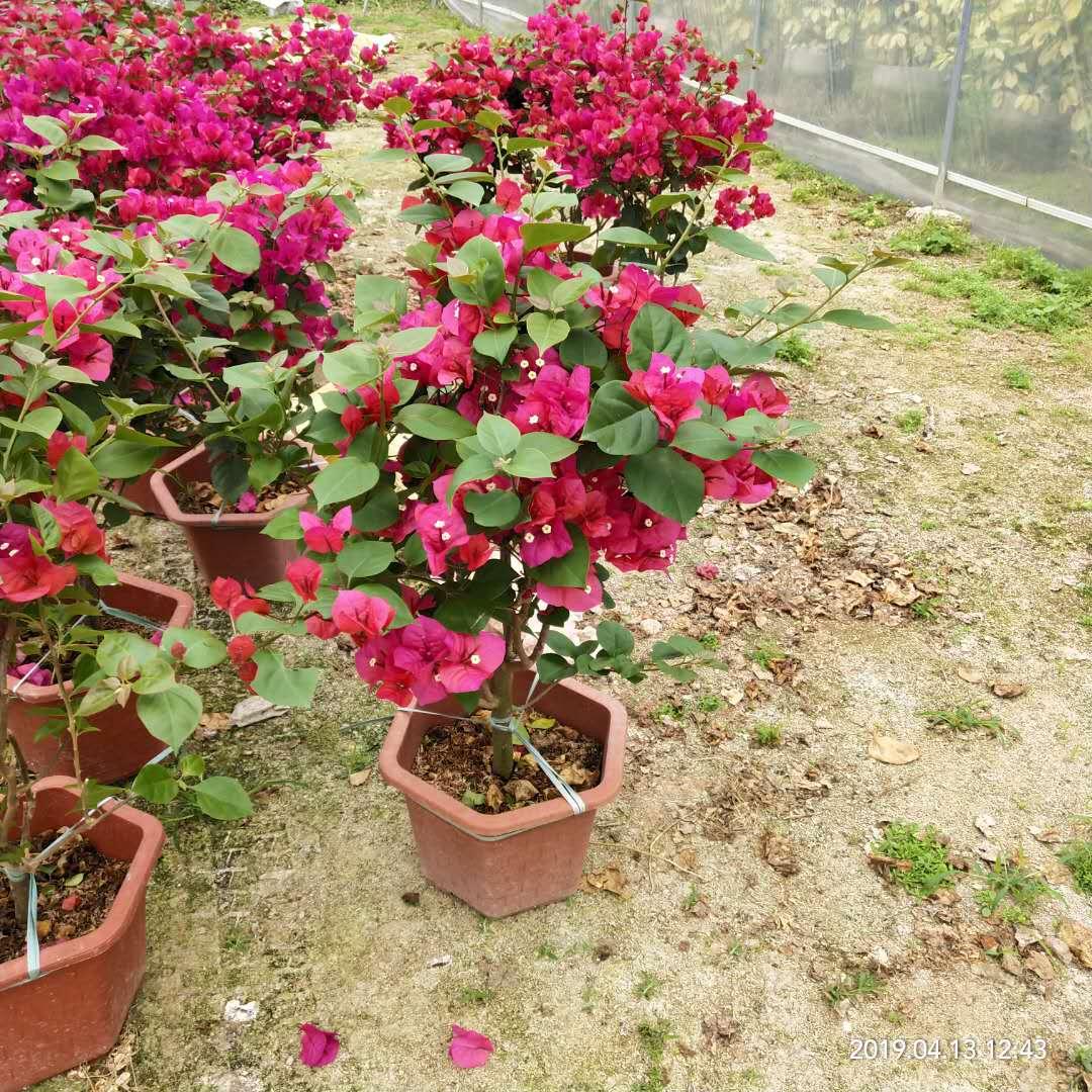 80-100cm盆栽红色三角梅  农户直销 低价出售